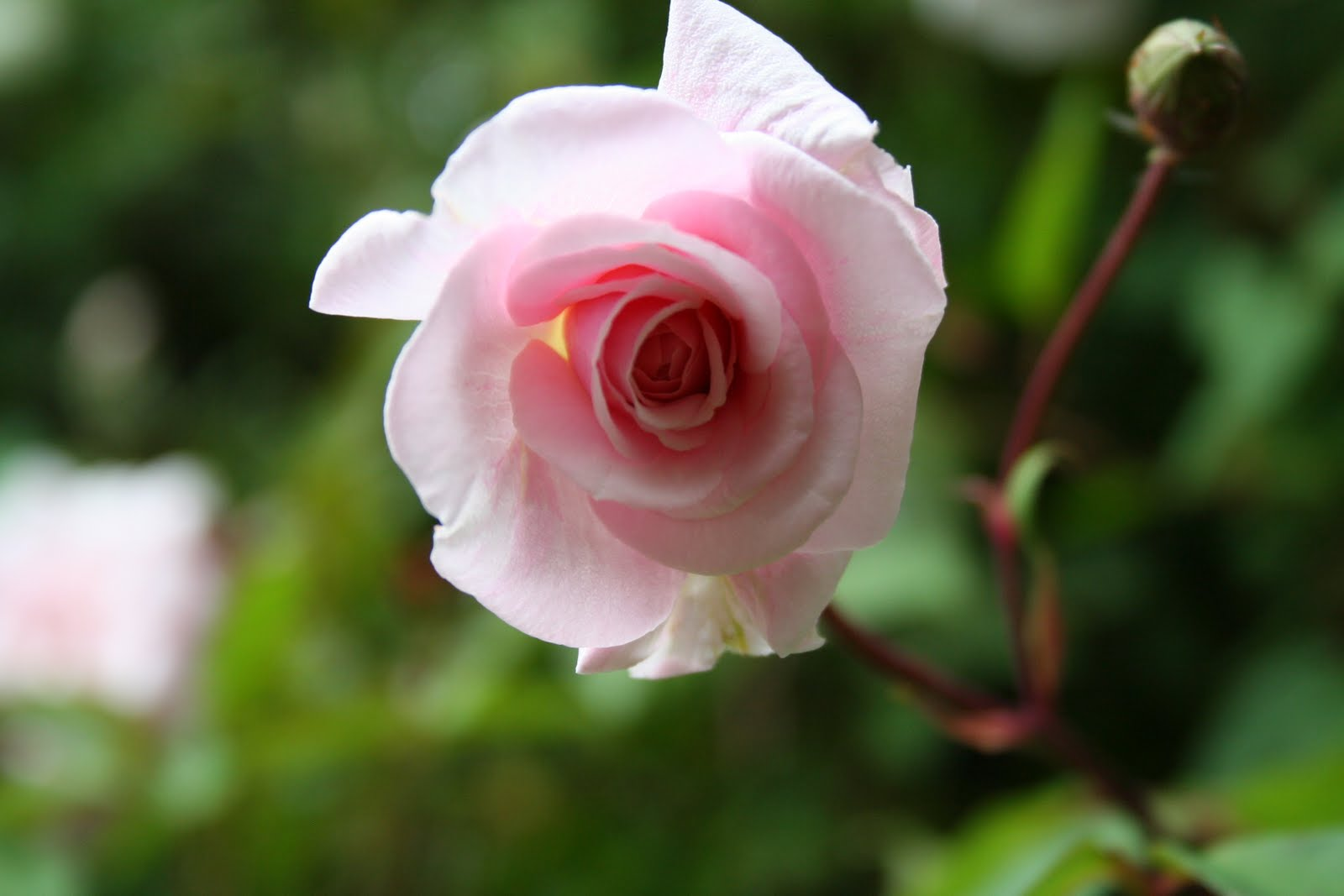Rose Rampicanti Senza Spine punto verde